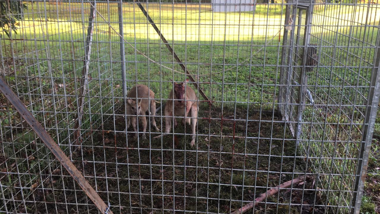Two agile wallabies suffered injuries after becoming trapped inside a Cairns Regional Council feral pig trap at Clifton Beach.