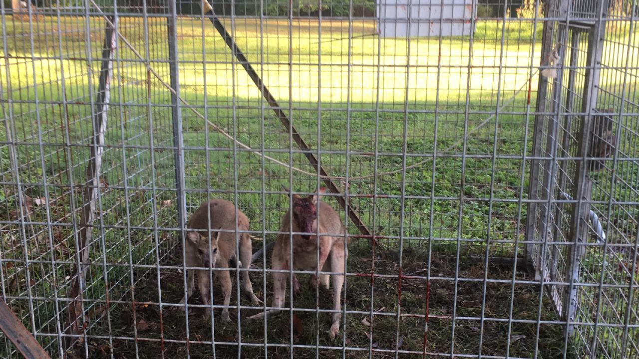 Two agile wallabies trapped inside a Cairns Regional Council feral pig trap at Clifton Beach