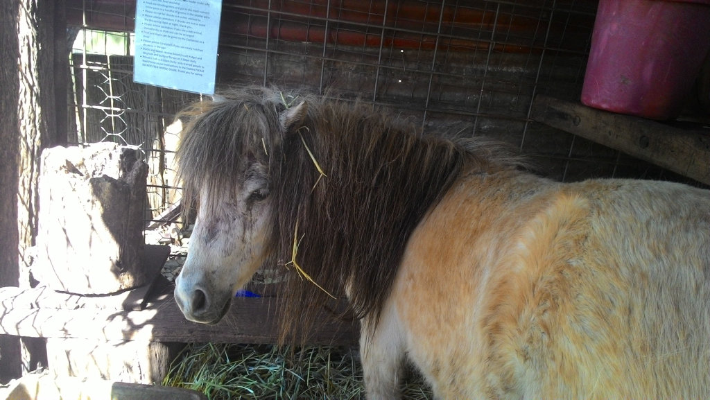 Clementine the miniature pony is recovering after a serious dog mauling last week.