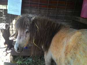 Kids' favourite mini pony recovering after vicious mauling