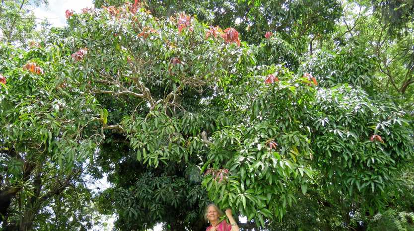 Emily Johnston next to the massive, estimated 80-year-old mango tree in Wattle St, Cooroy.