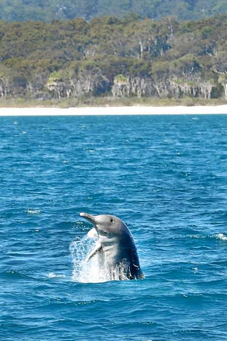 Whales are not the only animals that will thrill during a boat trip along Fraser Island with Pacific Whale Foundation. An indo pacific humpback dolphin plays with the pod.