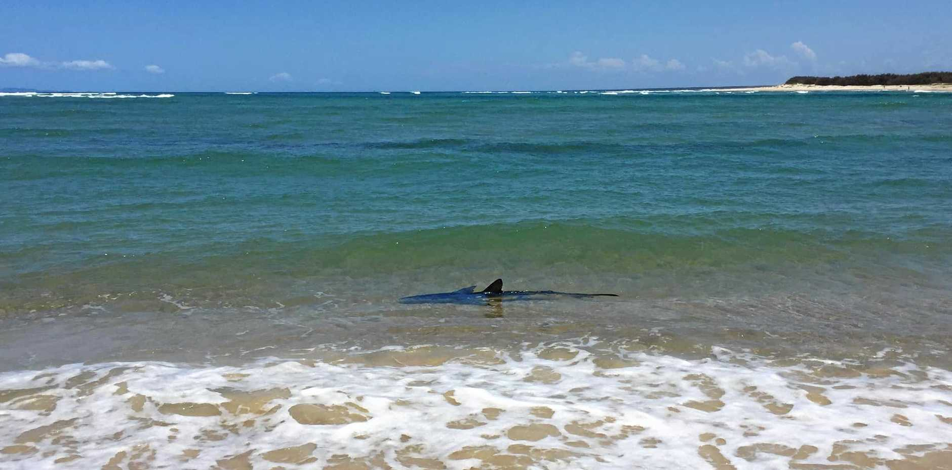 Just hours after a man survived a tiger shark attack, another beast from the deep has been spotted on the Sunshine Coast.