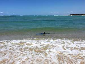 Beach closed: Second shark spotted in Caloundra shallows