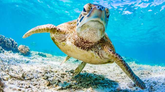 WATCH: Incredible footage of reef turtle migration