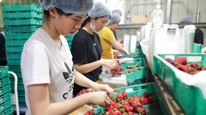 Workers sort and pack strawberries at the Chambers Flat Strawberry Farm south of Brisbane.