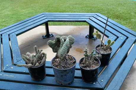PRICKLY SITUATION: Snake cactus, Coral cactus, White Hudson Pear and Bunny ears cactus are all illegal.
