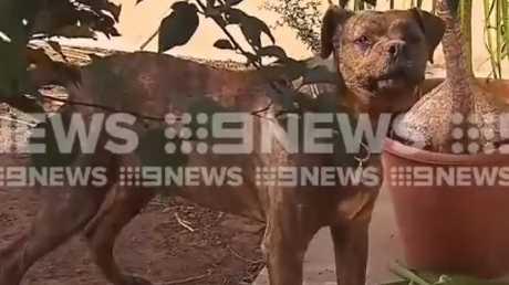 Salisbury Council staff described its breed as Bull-mastiff.
