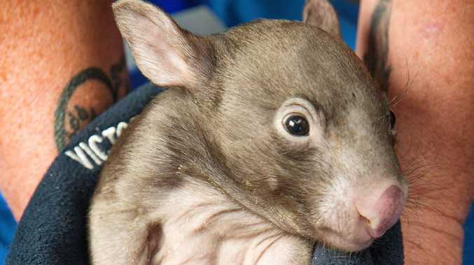 How Wombats produce their distinctly cube-shaped poop?