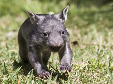 Scientists uncover the secrets behind wombats' unique cube poo