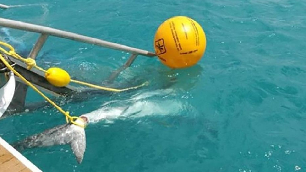 One of the Tiger Sharks caught at Airlie Beach after a spate of attacks.