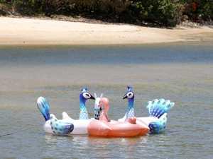 3 large Peacocks were seen frollicking in Cudgen