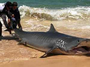 SHARK CULL: MP stands by contoversial call for open season