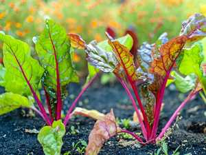 Beetroot a colourful star to boost vegie patch and health