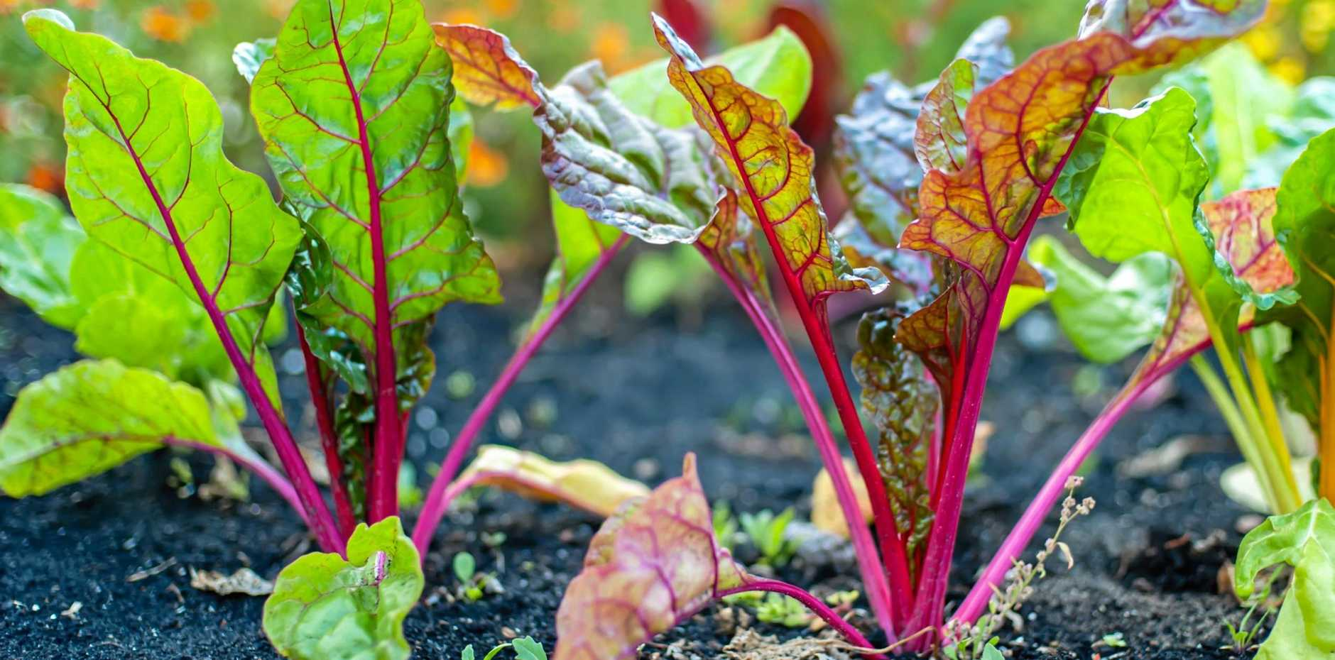 The root part of beetroot can be roasted, used in relish, hommus, soups and sandwiches and the colourful leaves can be mixed into salads.