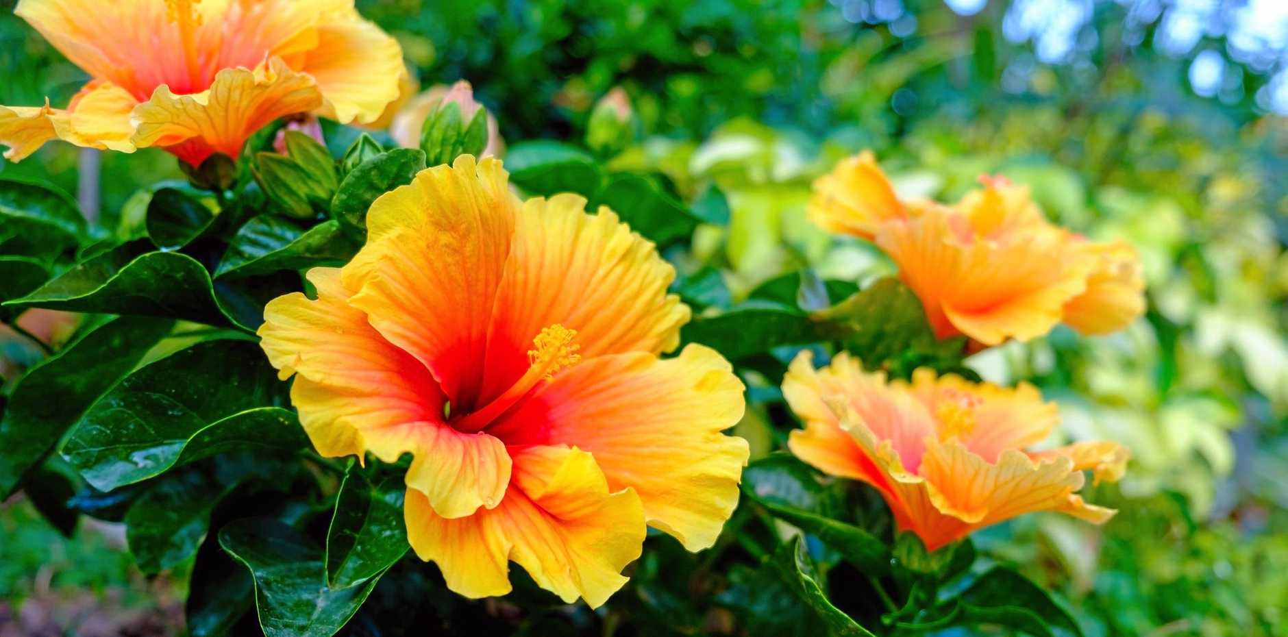There are more than 300 species of hibiscus distributed throughout the tropical and subtropical regions of the world.