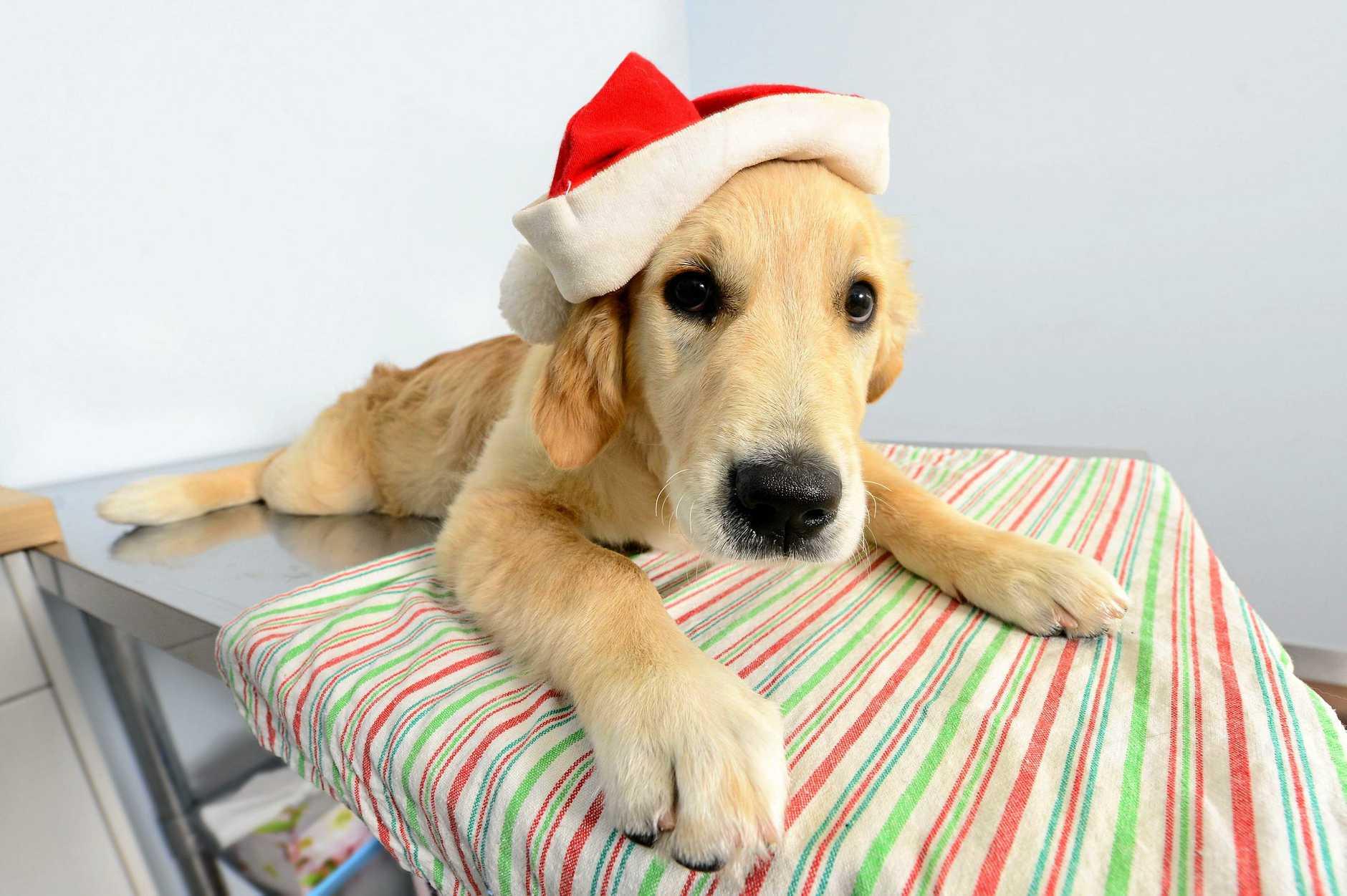 CUTE: 17-week-old Labrador puppy Indigo gets in the Christmas spirit.