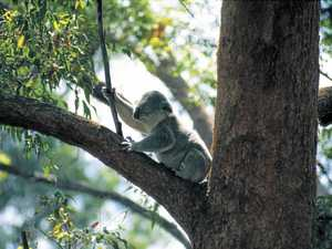 Koala numbers reach tipping point in growing region