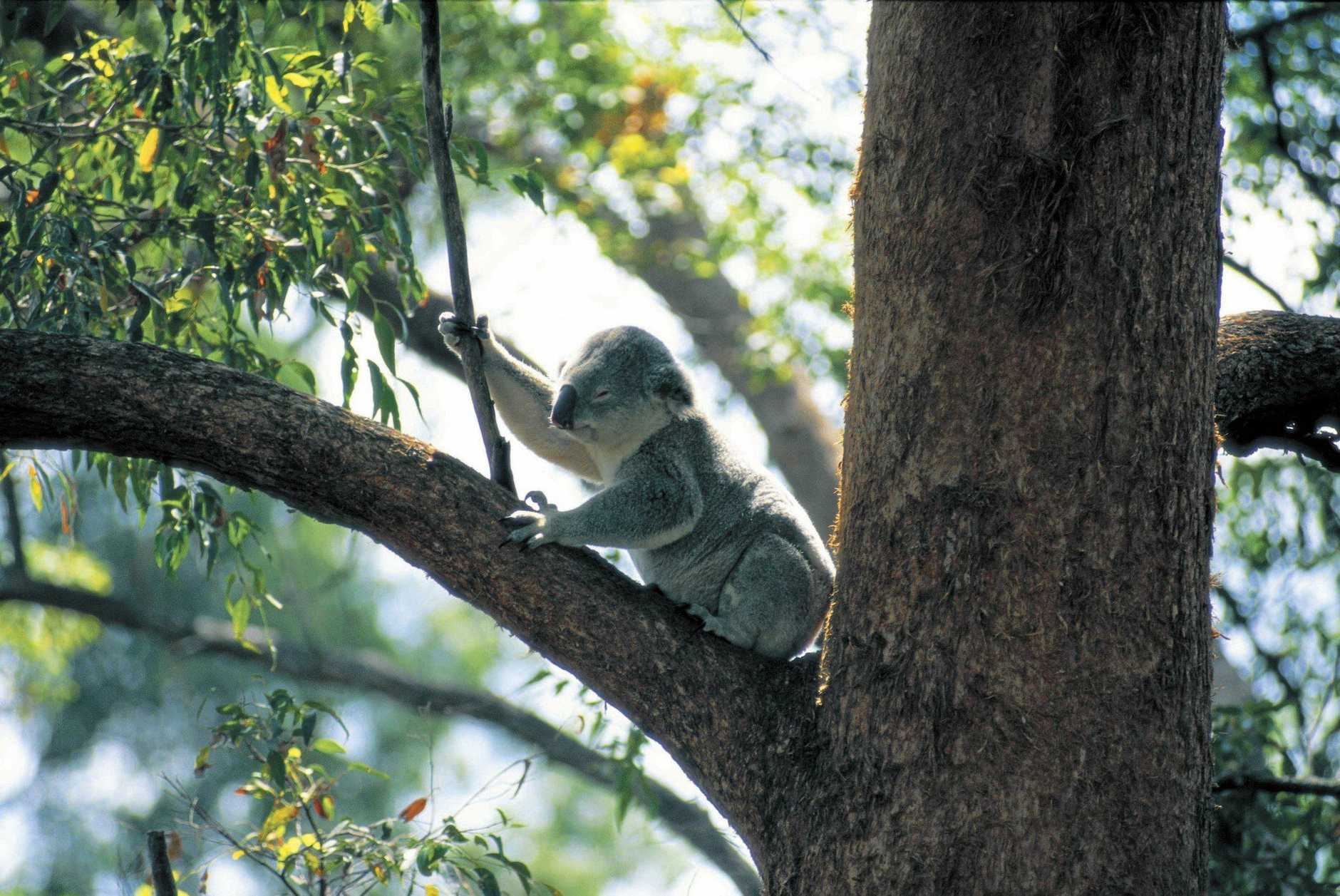 BEAR: The Wilderness Society will hold a koala forum at the Civic Centre next month to raise awareness about declining habitat.