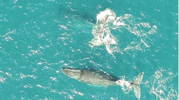The view from a drone of whales migrating on the Sunshine Coast.