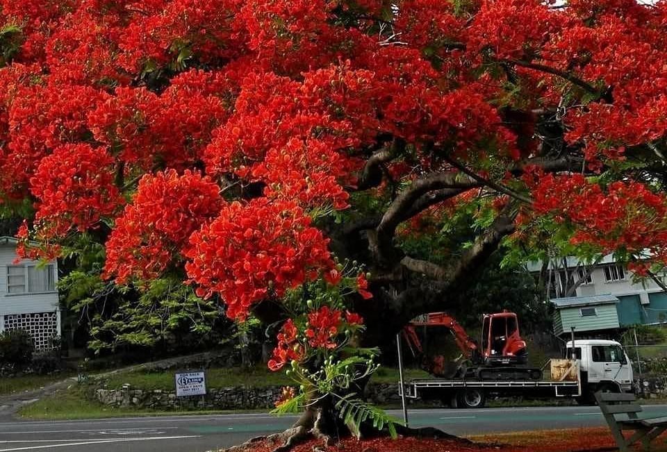 The Nambour community is outraged two large poinciana trees have been removed to make way for intersection upgrades at Mount Pleasant and Petrie Creek roads.