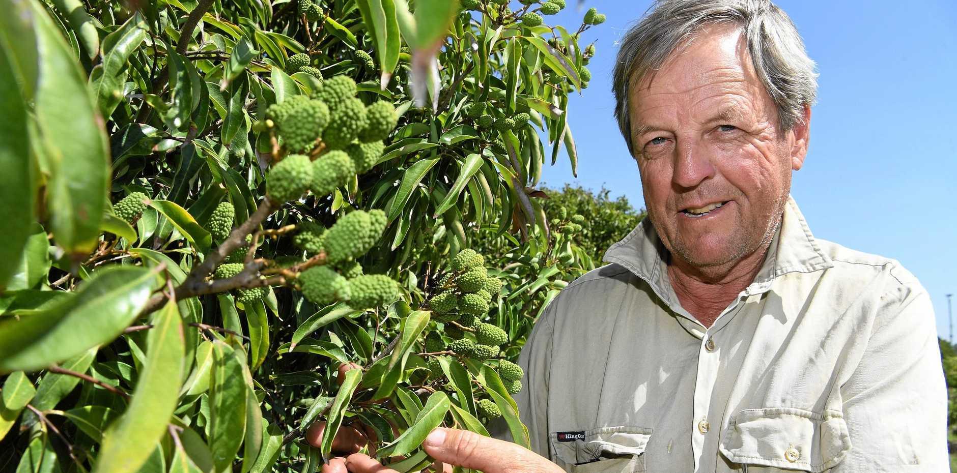 Lychee farmer Derek Foley is expecting a good crop this season.