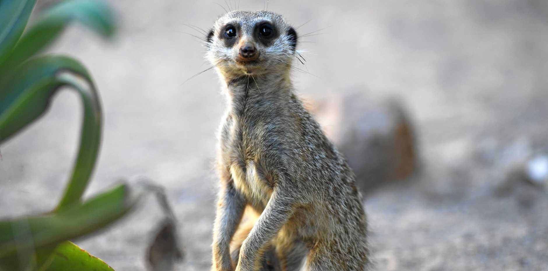 Meerkats at Snakes Downunder.