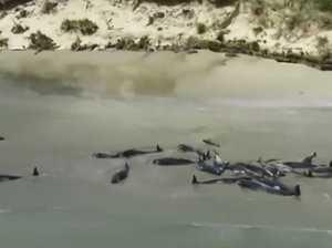 Mass stranding: 145 whales dead in New Zealand