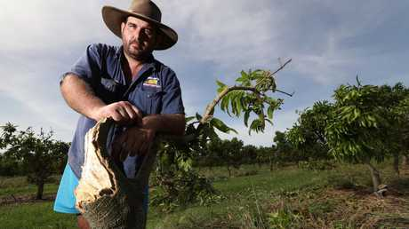 Most of Ben Martin's mango trees were badly damaged after Cyclone Debbie hit the coast in 2017. Picture: Lyndon Mechielsen/The Australian