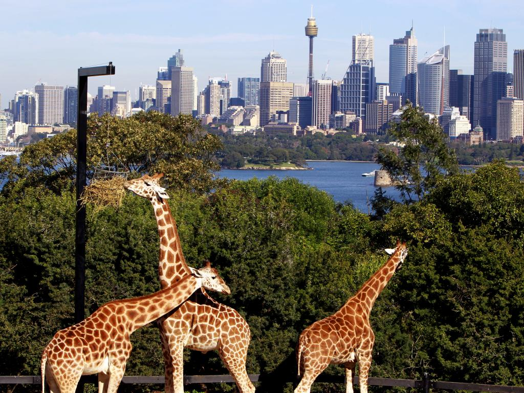 It will also snake around Taronga Zoo.