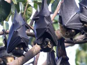 Heatwave contributes to rise in bat bites