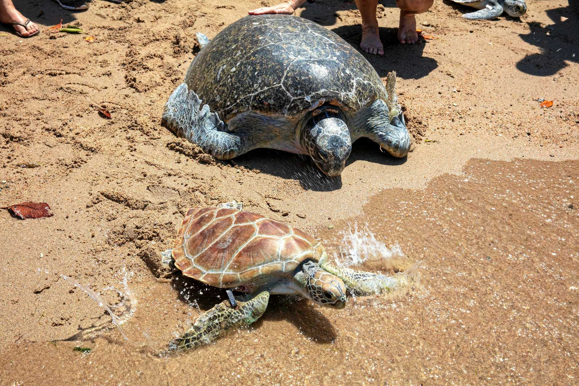 HOME: Sea turtles Ben and Samson were released at Cannonvale Beach on Saturday.