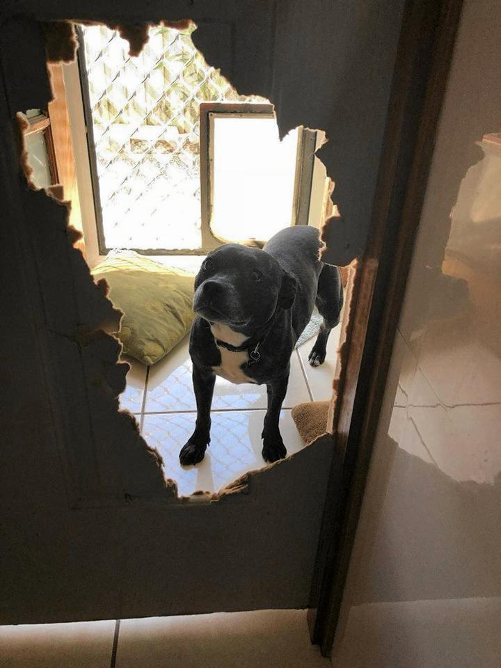 Gypsy the English Staffordshire terrier becomes so terrified in storms she rips holes in walls.