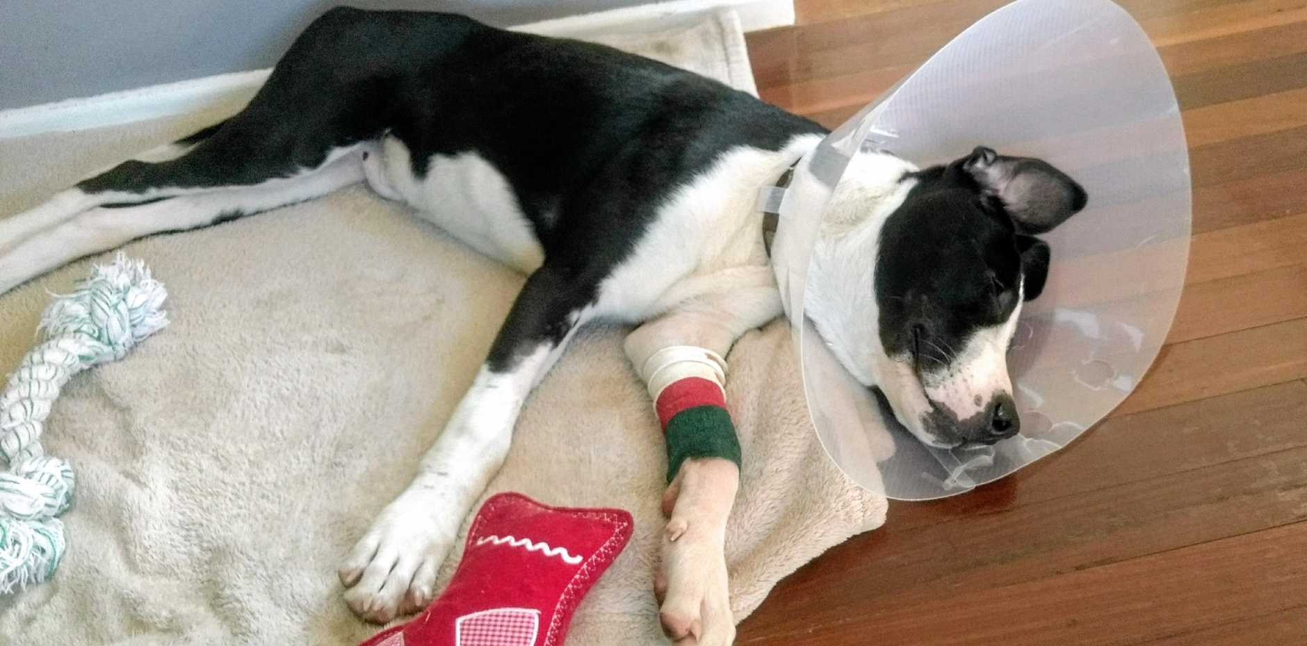 ON WAY BACK: Whattha is now in foster care and recovering from a nasty tetanus infection as well as the earlier gun shot wounds to his face and leg. Photo: Contributed