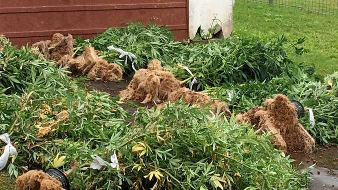 File photo of cannabis plants