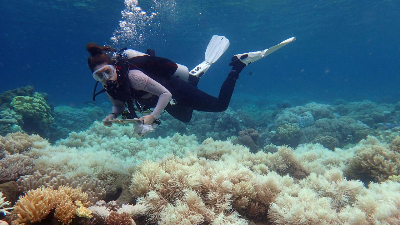 An undated handout photo taken by  ARC Centre of Excellence for Coral Reef Studies on April 10, 2017, shows a diver examining bleaching on a coral reef on Orpheus Island.  Picture: Greg Torda/AFP