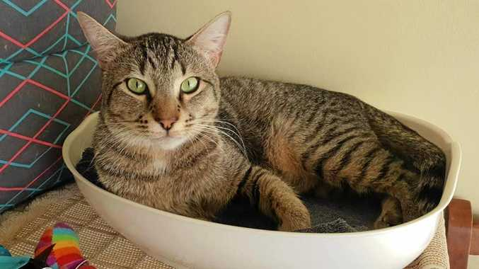 FELINE FRIEND: Oliver would reward his new family with a lifetime of love and companionship.
