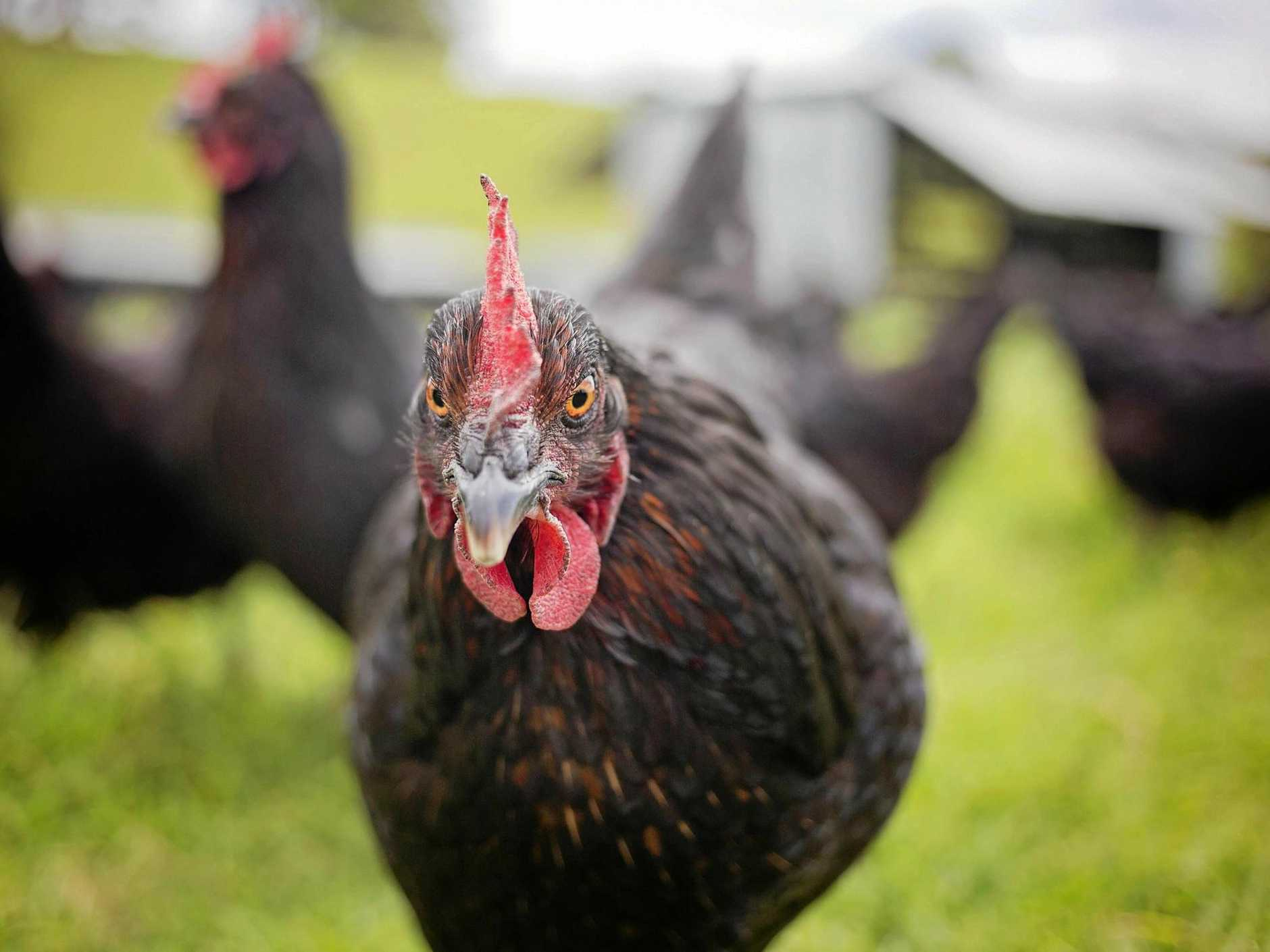 Gympie residents are a step closer to being allowed to have chickens in their back yard.