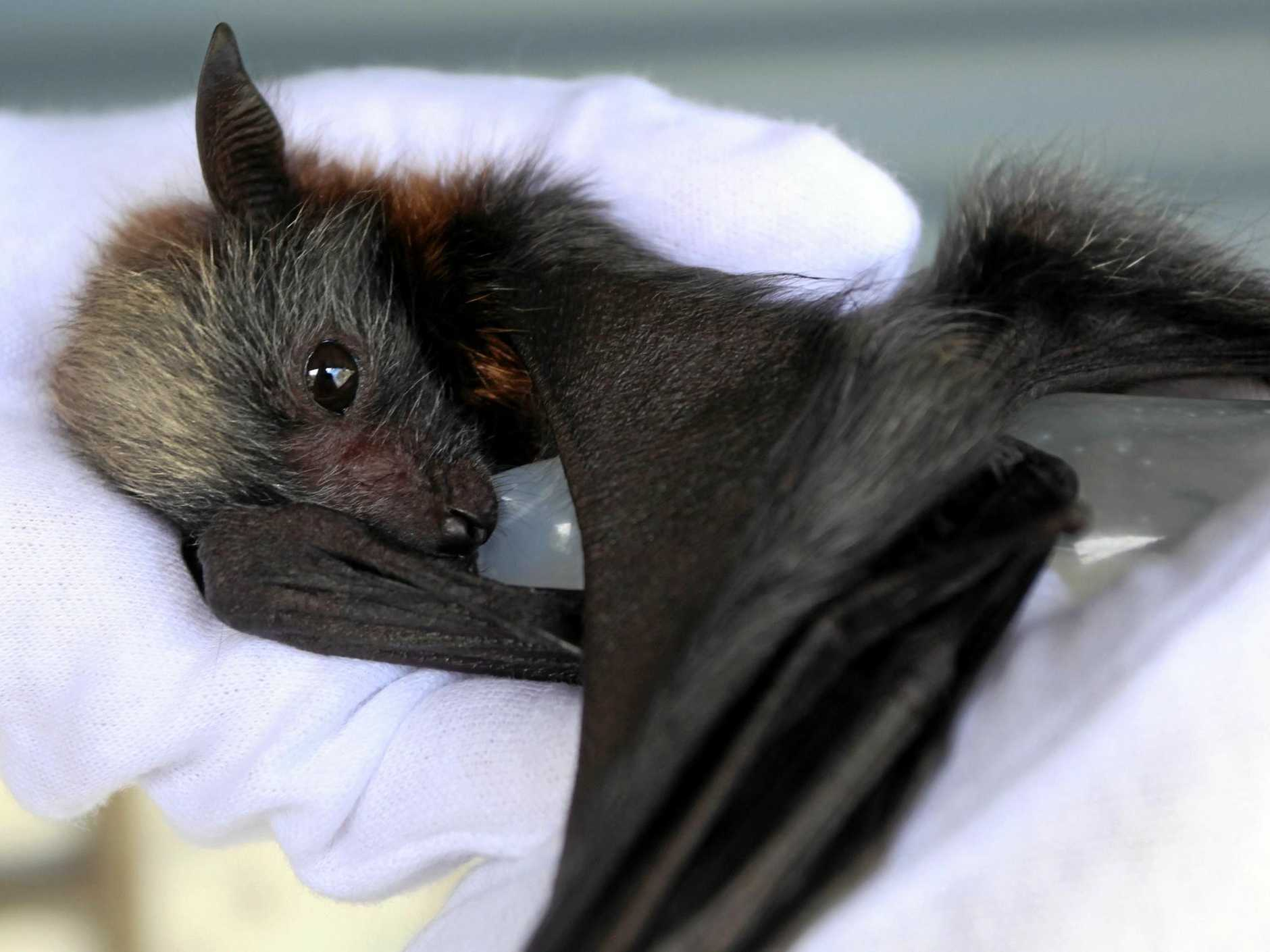 CAUTION: Residents are being warned not to touch distressed bats in the heatwave.