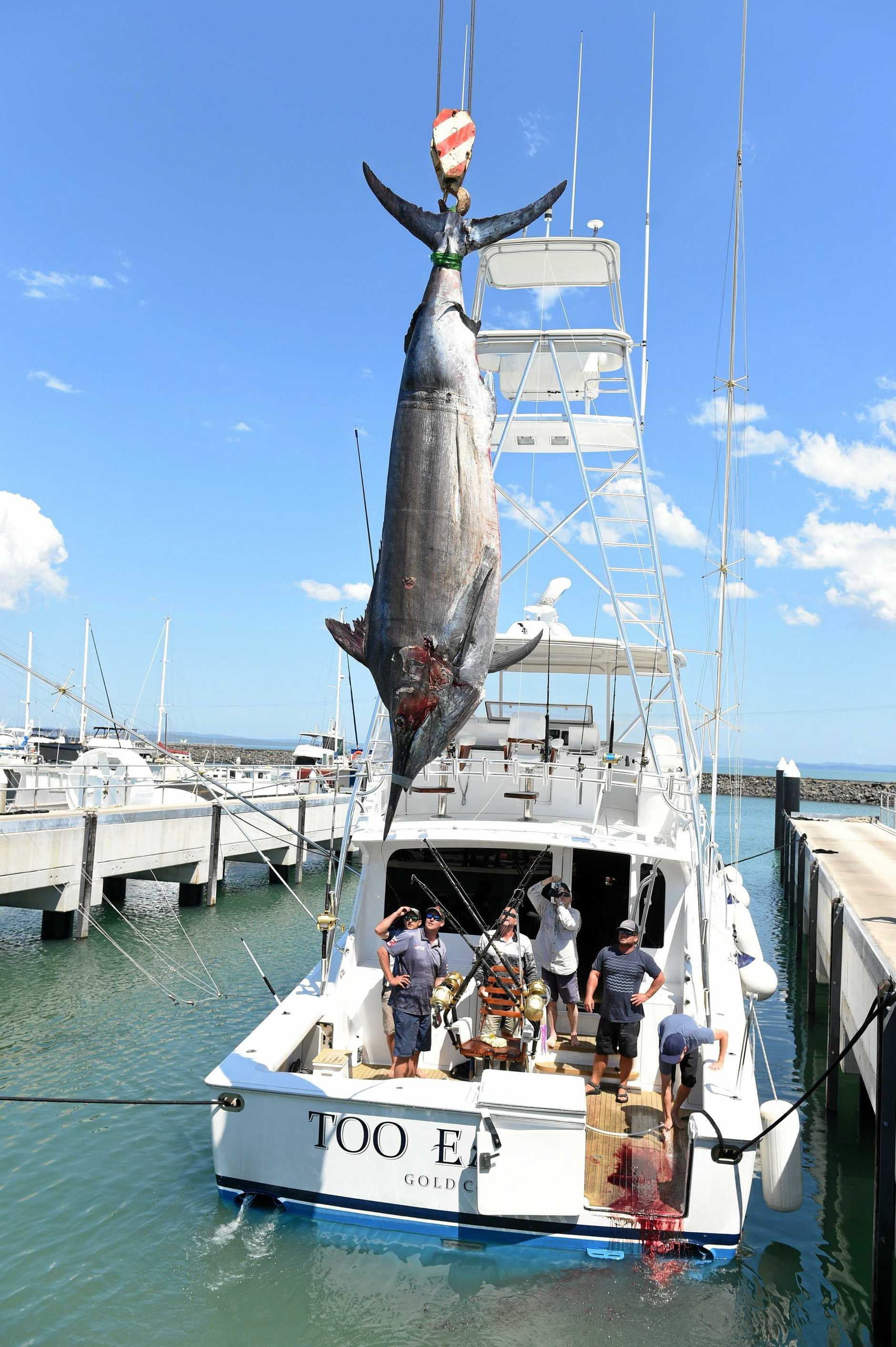 The 1431 lb black marlin is craned off the Too Easy II at the slipway in Hervey Bay.