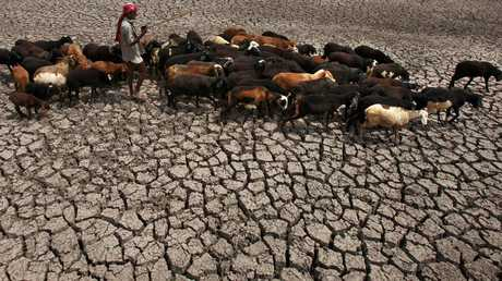 A shepherd walks with a herd of sheep as he crosses a dried waterbed in the outskirts of Hyderabad, India. Studies have shown climate change has worsened droughts, downpours and heatwaves that have killed thousands of people. Picture: AP
