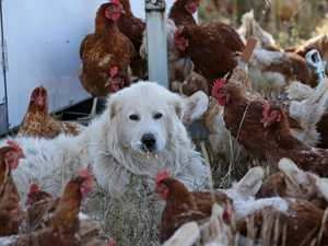 Pooches rule the roost at chicken farm