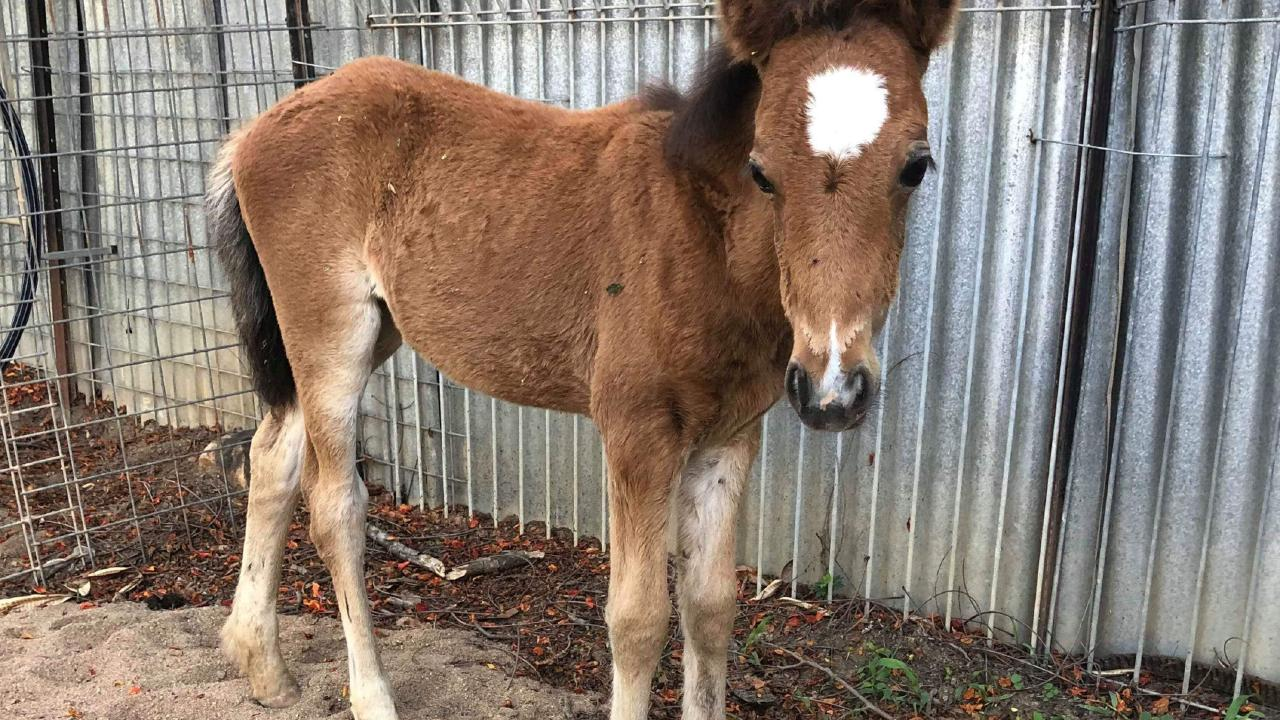 One of the brumbies rehomed by the Alligator Creek Brumby Re-Homing Group.