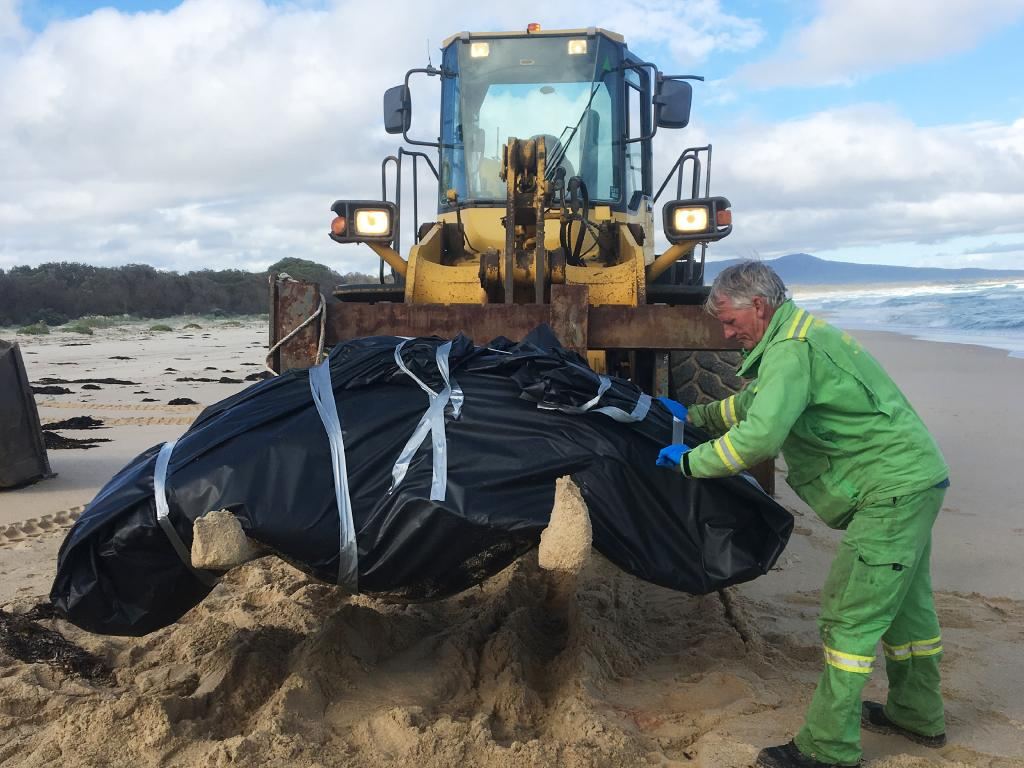 One of two dead pilot whales being removed from a Victorian beach just days after dozens died in a mass stranding. Picture: Parks Victoria/AAP