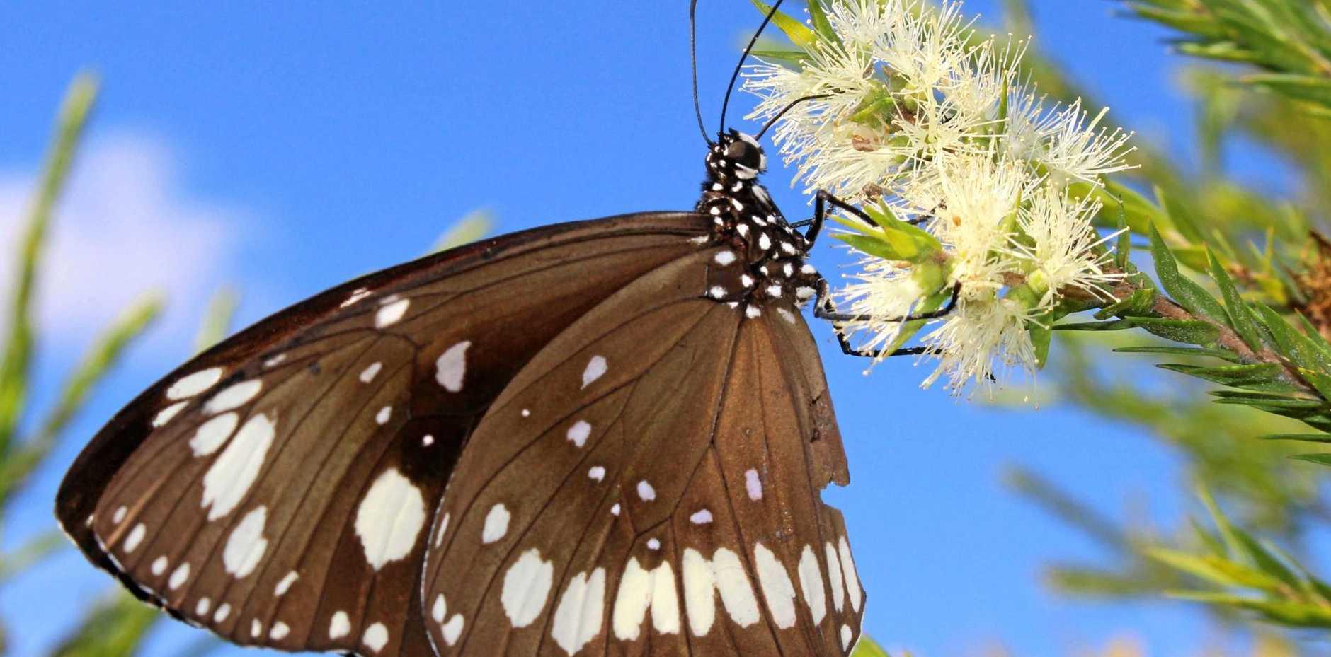 An oeander butterfly drinking nectar.