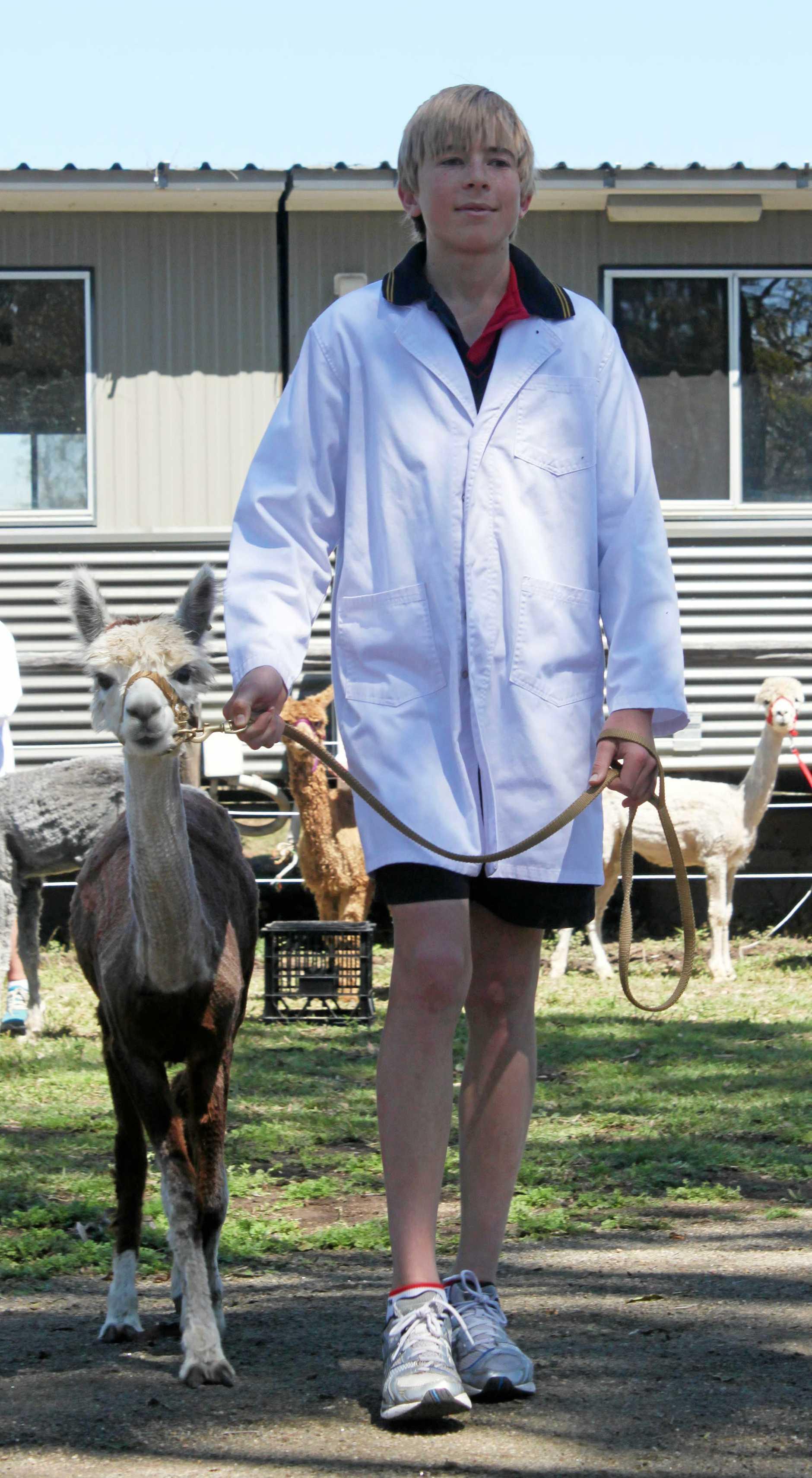 George Bird leads an alpaca through its paces at the Rockhampton Grammar School - Alpaca Junior Handlers Competition. Photo THE MORNING BULLETIN Kathryn Greensill RRW290811kalpaca8