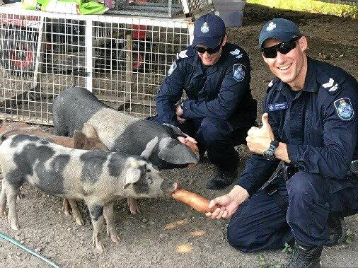 WELFARE CHECK:  Officers check over animals on a farm at Baffle Creek.