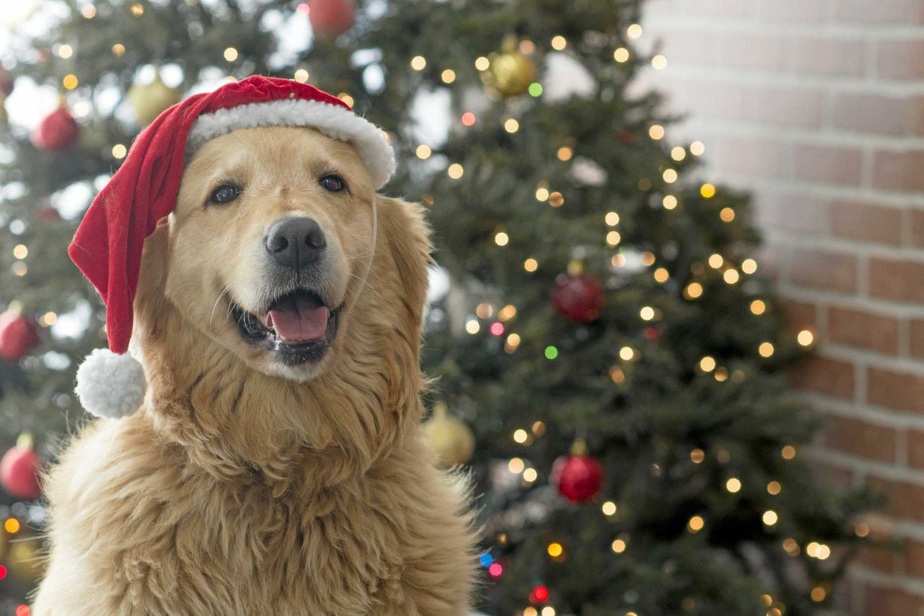 A cute golden retriever dog is wearing a santa hat during Christmas. It is sitting and looking happy. A Christmas tree with lights is in the background.