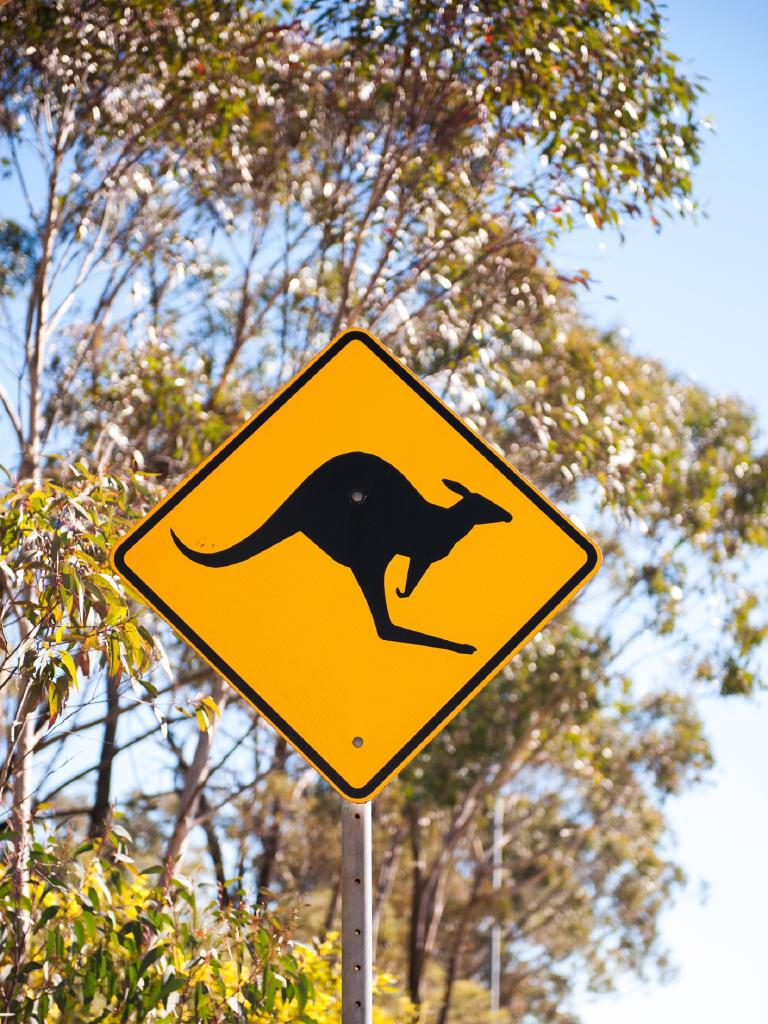 Everyone who hits a kangaroo gets nothing. Photo: iStock