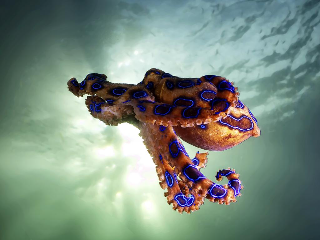 Blue ringed octopuses display bright blue rings when they feel threatened or attacked.